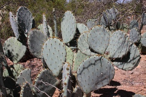 Prickly Pear (Opuntia spp.)