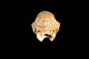 Shasta Ground Sloth Skull, Back