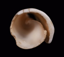 Conus Shell Tinkler, Alternate View