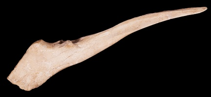 Deer Bone Awl