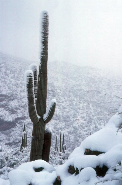 Saguaro in the Snow
