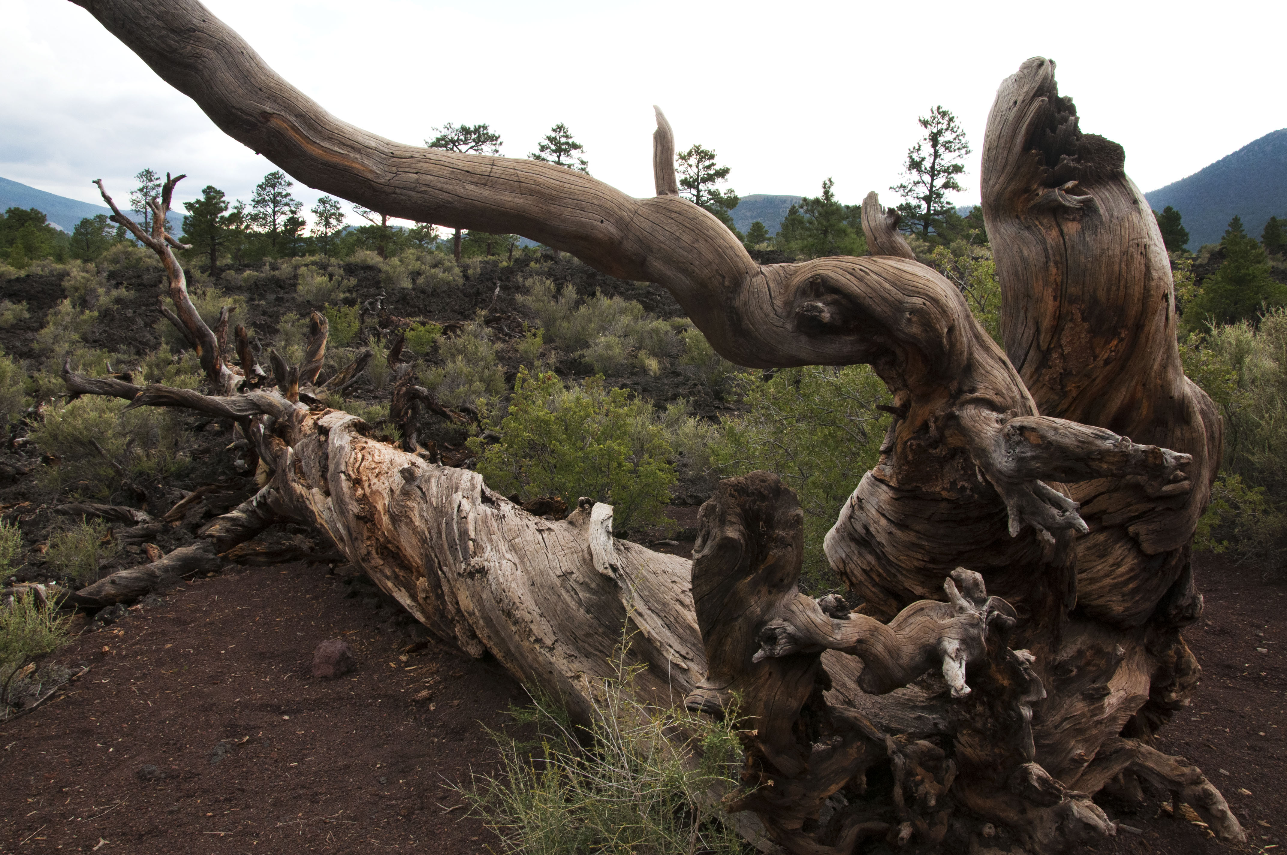 Roots on a dead Ponderosa pine