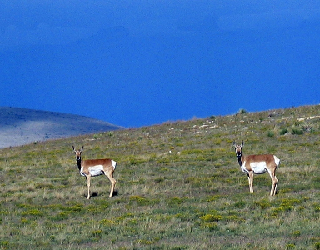 Pronghorn, Fort Union National Monument, New Mexico