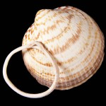 Raw and worked Glycimeris shell