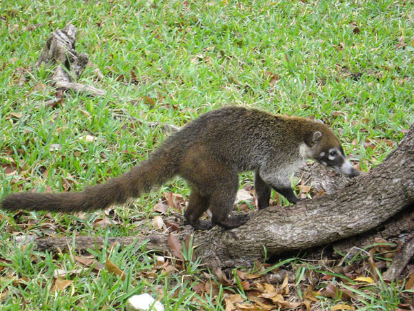 Coati are long-tailed mammals that live in Walnut Canyon, but are typically found further south